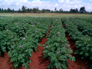 Potato crops growing at the University of Eldoret